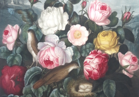 Roses (R. J. Thornton), in The Temple of Flora (1805)